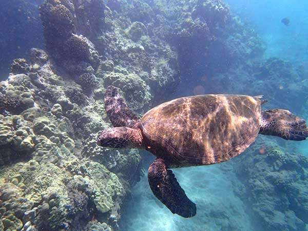 Turtle off the coast of Maui, Hawaii